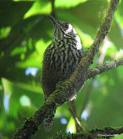 Stripe Breasted Wren